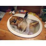 วิธีการอาบน้ำปอมเมอเรเนียนที่ถูกวิธี