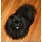 สีขนสุนัขพันธุ์ปอมเมอเรเนียน (pomeranian) ตอนที่ 2