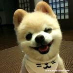 วิธีดูแลปอมเมอเรเนียน (Pomeranian)