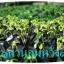 มะละกอฮอลแลนด์ (ต้นกล้าสูง6-5ซม.) thumbnail 2