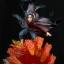 Infinity Studio 1/6 Naruto series - Uchiha Itachi thumbnail 2