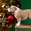 Mr.Z MRZ021 British Bulldog 4.0 Statues thumbnail 44