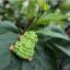 Japanese Tree Frog thumbnail 1