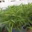 ชุดปลูกผักไฮโดรระบบ DFT ชุดทดลองปลูก (ระบบน้ำนิ่ง) -- ฟรีค่าส่ง ปณ-ธรรมดา thumbnail 7
