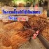7 วิธีที่จะทำให้ไก่รู้สึกเย็นสบายในช่วงฤดูร้อน