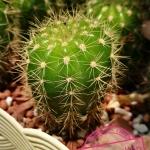 ดาวล้อมเดือน Echinopsis calochlroa