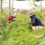 จิงจูฉ่ายบด (ถุง 100 กรัม) thumbnail 9