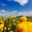 ชาดอกดาวเรืองออแกนิค (ถุง 30 กรัม) thumbnail 6