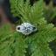 แหวนประดับเพชรฝังหนามเตยและฝังจิกไข่ปลา หุ้มทองคำขาวแท้ thumbnail 2