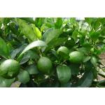 Tahiti lime tree (Seedless lemons) 1.72 - 3.00 US$