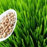 """""""13 สรรพคุณของเมล็ดต้นอ่อนข้าวสาลี"""" อุดมไปด้วยสารอาหารจำเป็นต่อร่างกาย สารสกัดในอาหารเสริมผู้สุงอายุ Senior Balance 50+"""