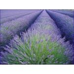 English Lavender (อิงลิช ลาเวนเดอร์) / 50 เมล็ด
