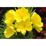 Evening Primrose : Yellow (อิเวนนิ่ง พรีมโรส สีเหลือง)/ 200 เมล็ด