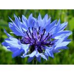 Cornflower : Blue (คอร์นฟลาวเวอร์ สีฟ้า) / 100 เมล็ด