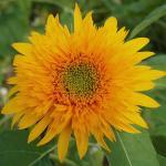 Sunflower : Beauty Firework (ทานตะวัน บิวตี้ไฟร์เวิค) / 5 เมล็ด