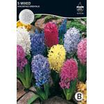 Hyacinth คละสี 1 หัว