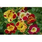 Mimulus (Tiger Monkey Flower) : Mix (มิมูลัส คละสี) / 100 เมล็ด