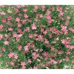 Gypsophila : Elegans Mix (ยิปโซฟิลล่า คละสี) / 50 เมล็ด