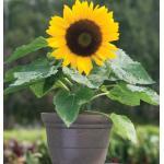 Sunflower : Sunny Smile(ทานตะวัน ซันนี่ สมายล์) / 5 เมล็ด