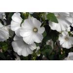 Rose mallow : Mont blance (โรสมาลโล สีขาว) / 10 เมล็ด