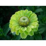 Zinnia : Envy Green / 40 เมล็ด