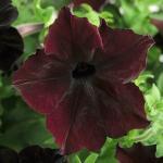 Petunia : Black Berry (พิทูเนีย สีม่วงไวน์แดง) / 5 เมล็ด (เมล็ดเคลือบ)