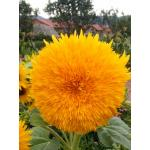 Sunflower : Giant Sun Gold (ทานตะวัน ไจแอนท์ซันโกล) / 5 เมล็ด