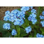 Forget me not (Myosotis) : Blue (ฟอเก็ต มี น็อท สีฟ้า) / 30 เมล็ด
