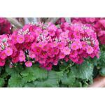 Fairy primrose : Pink (แฟรี่ พรีมโรส สีชมพู)/ 30 เมล็ด