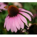Echinacea : Purple (อิชินาเซีย) / 50 เมล็ด