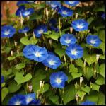 Morning glory : Heavenly blue (มอร์นิ่ง กลอรี่) / 10 เมล็ด