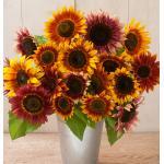 Sunflower : Autumn Beauty (ทานตะวัน ออทัมบิวตี้) / 5 เมล็ด