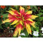 Amaranthus : Perfecta (อะมารันทัส เพอเฟคต้า) / 30 เมล็ด