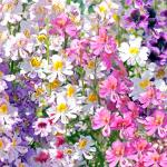 Schizanthus : Mix (ชิซานตัส คละสี) / 100 เมล็ด