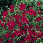 Flax : Scarlet (แฟล็ก สีแดง) / 100 เมล็ด