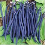 ฺBean ถั่ว : Purple / 20 เมล็ด