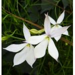 Laurentia : White (ลอเรนเทีย สีขาว) / 5 เมล็ด (เมล็ดเคลือบ)