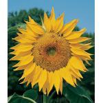 Sunflower : Mammoth (ทานตะวัน แมมมอธ)/ 5 เมล็ด