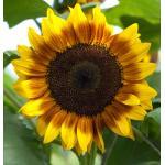 Sunflower : Beauty Bicolor (ทานตะวัน บิวตี้ ไบคัลเลอร์)/ 5 เมล็ด