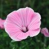 Rose mallow โรสมาลโล