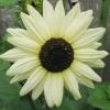 Sunflower : Italian White (ทานตะวัน อิตาเลี่ยน ไวท์) / 5 เมล็ด