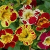 Mimulus (Tiger Monkey Flower) : Mix / 100 เมล็ด