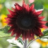 Sunflower : Beauty Red (ทานตะวัน บิวตี้เร้ด) / 5 เมล็ด