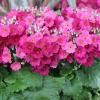 Fairy primrose แฟรี่ พรีมโรส