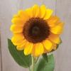 Sunflower : Vincent (ทานตะวัน วินเซ็นท์) / 5 เมล็ด