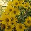 Sunflower : Maximillian (ทานตะวัน แมคซี่มิลเลี่ยน)/ 10 เมล็ด