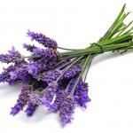 Lavender ลาเวนเดอร์