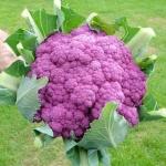 Cauliflower คอลลี่ ฟลาวเวอร์
