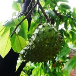 Soursop , The Natural Cancer Killer.