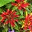 Amaranthus อะมารันทัส thumbnail 7